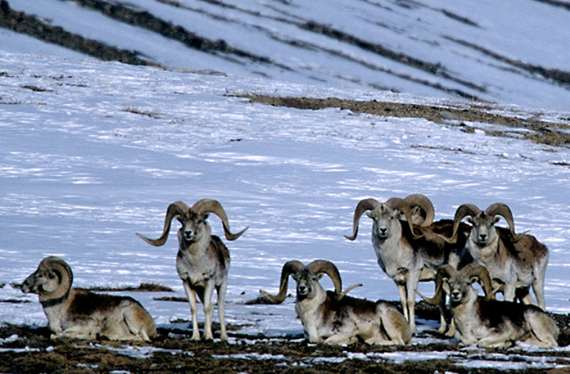 A group of Marco Polo sheep rams (Ovis ammon polii) gather to graze on bare spots on snowy slopes in the eastern Pamir Mountains Gorno-Badakshan,Tajikistan. The Marco Polo sheep, a threatened species of argali, inhabit the uplands and alpine valleys of the Pamirs.